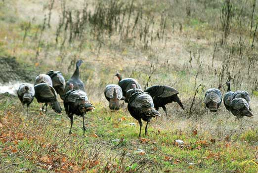 Image-galerie_chasse-dindons-7_522x350